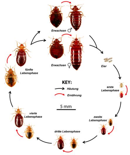 Bettwanzen- Lebenszyklus; Bild von der Bed Bug Foundation