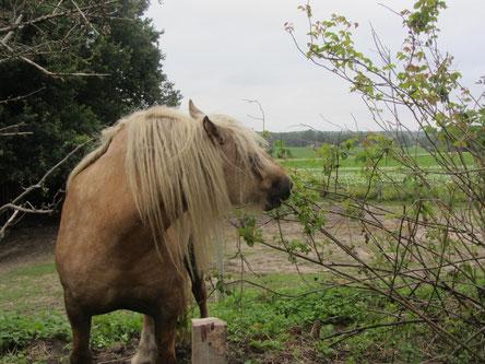 Ungiftige Sträucher im Pferdeauslauf bieten willkommene Abwechslung und Knabbermöglichkeiten in den bei übergewichtigen Pferden notwendigen Heupausen!