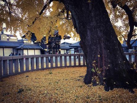 西本願寺の銀杏の木