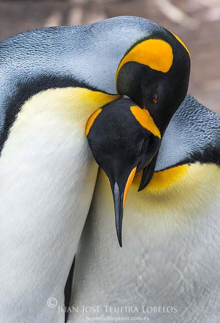 Pareja de pingüino rey ( aptenodytes patagonicus )