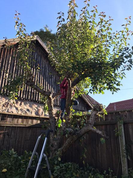 Hannah beim Bäumeschneiden (Foto: Johanna Windirsch)