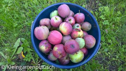 Ein einfacher blauer Wassereimer randvoll mit rot-grünen Äpfeln