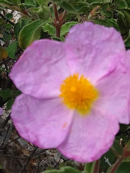 Cistusblüte