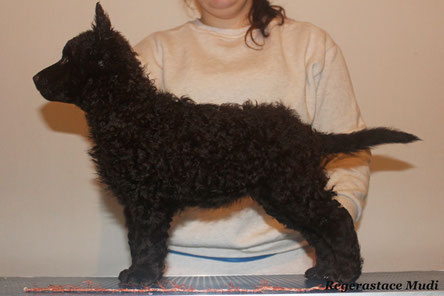 """8 week Brown Mudi puppy from our """"A"""" litter (Regerastace Authentic)"""