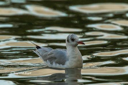 lachmoewe ruhekleid vogel schwimmt wasser