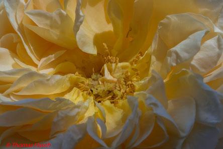Das Innenleben dieser wunderschönen Rose