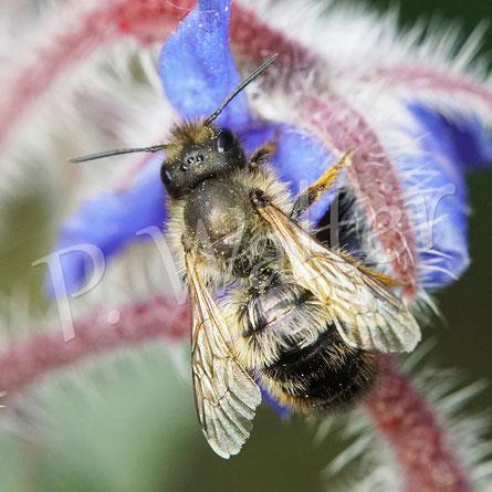 Bild: kleines Mauerbienenweibchen, Osmia spec., am Borretsch