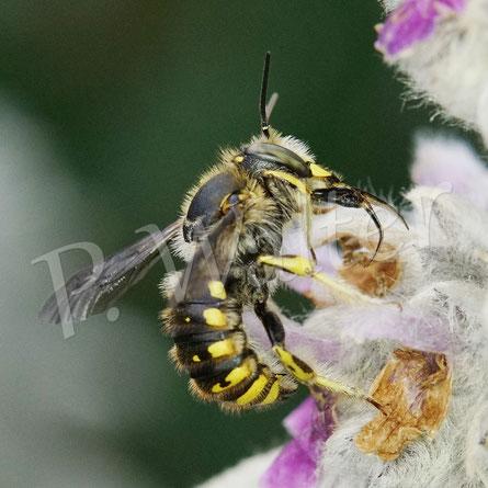 Bild: eines der ersten Wollbienen-Männchen, Anthidium manicatum, am Woll-Ziest
