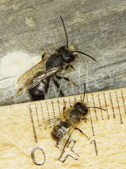 03.05.2020 : kleines Mauerbienenmännchen, hier im Größenvergleich zu einem abgeflogenen Männchen der Gehörnten Mauerbiene