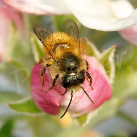Bild: Männchen, Rostrote Mauerbiene, Osmia bicornis, Apfelknospe
