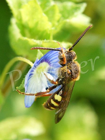 Bild: eine Wespenbiene, Nomada spec., putzt ihren Fühler am Gamander-Ehrenpreis