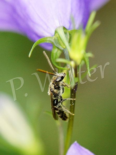 Bild: Wildbiene an der Rundblättrigen Glockenblume