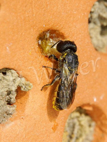 Bild: Löcherbiene, Osmia truncorum, am Verschluss ihres Nistgangs im Tonstein