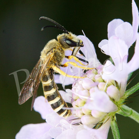 Bild: Männchen, Gelbbindige Furchenbiene, Halictus scabiosae, trinkt Nektar an einer Skabiosenblüte