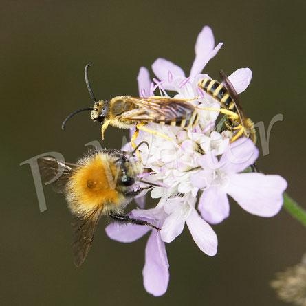 Bild: überfüllt an der Skabiosenblüte, Männchen der Gelbbindigen Furchenbiene, Halictus scabiosae, und eine Hummel