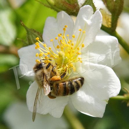 Bild: eine Honigbiene bedient sich an einer Blüte der Vielblütigen Rose