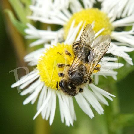 Bild: weibliche Sandbiene (?) an einer der unzähligen Blütes des Einjährigen Berufkraut