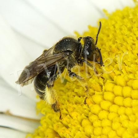 07.07.2020 : eine Wald-Schenkelbiene auf einer Margerite