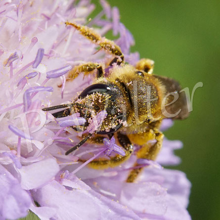 Bild: Gelbbindige Furchenbiene, Halictus scabiosae, an der Acker-Witwenblume