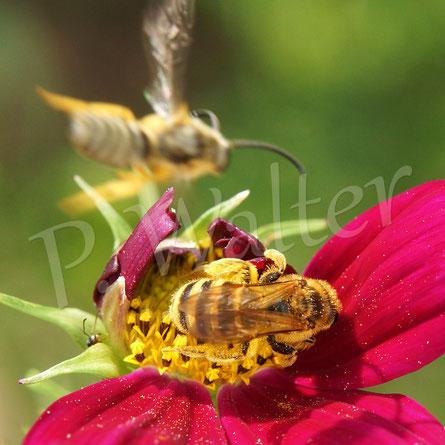 Bild: Weibchen der Gelbbindigen Furchenbiene, Halictus scabiosea, an einer Cosmee