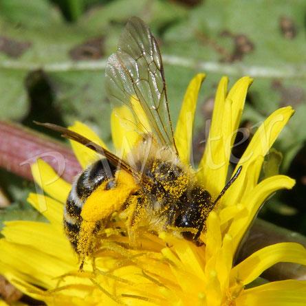 Bild: wohl eine Bindensandbiene (?) am Löwenzahn