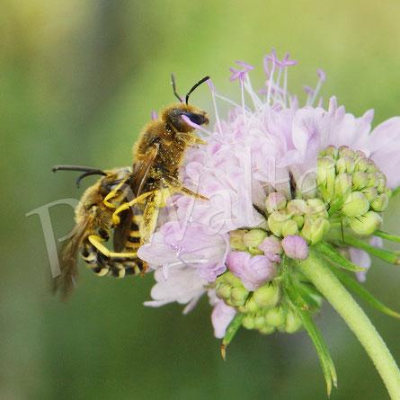 Bild: Paarung der Gelbbindigen Furchenbienen, Halictus scabiosae, auf einer Skabiosenblüte