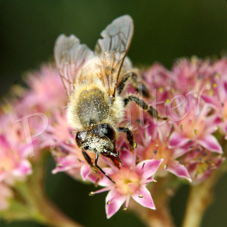 Bild: eine Honigbiene, Apis mellifera, trinkt Nektar an der Fetten Henne