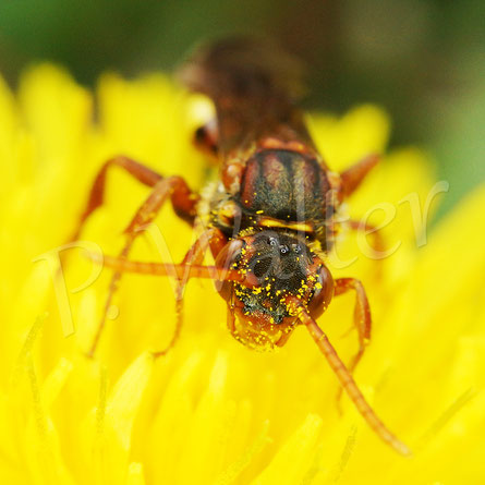 Bild: Wespenbiene,Nomada spec.,  am Löwenzahn