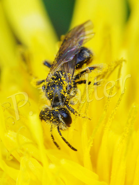 Bild: eine Wildbiene am Löwenzahn