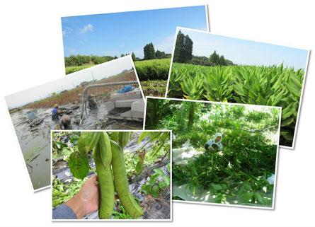 産地画像、なたまめ、蓮根、しょうが、桑の葉