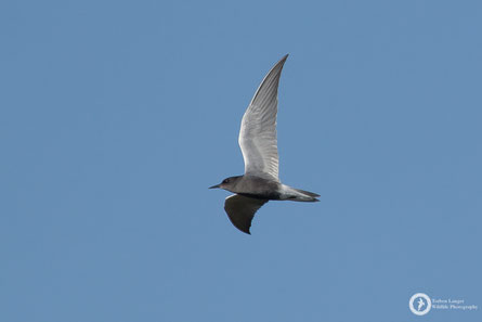 Chlidonias niger / Black Tern / Trauerseeschwalbe