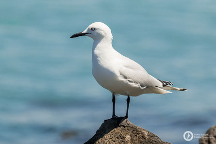 Larus bulleri / Black-billed Gull / Maorimöwe