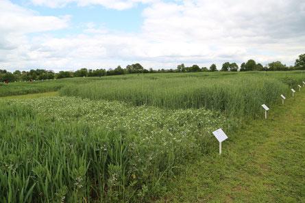 Association de céréales et de protéagineux - Crédit Photo Ferme Expérimentale de Thorigné d'Anjou
