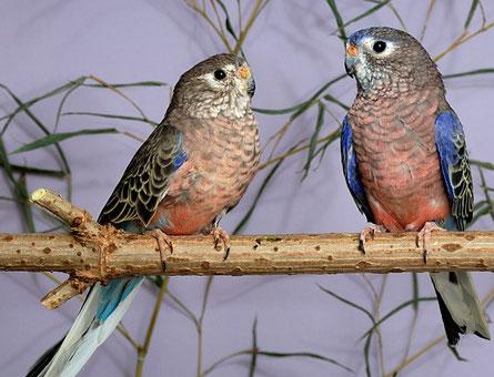 Parrocchetti di Bourke (Neopsephotus Bourkii) - bourke05s ...   445 x 340 jpeg 44kB
