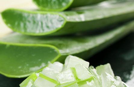 Avec plus de 75 nutriments différents, l'aloe vera fait office de super-ingrédient beauté. Son gel naturel transparent est depuis longtemps utilisé en médecine, notamment dans le soin des infections de la peau.