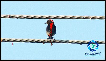 Scarlet-backed Flowerpecker Scharlachmistelfresser in ChiangMai