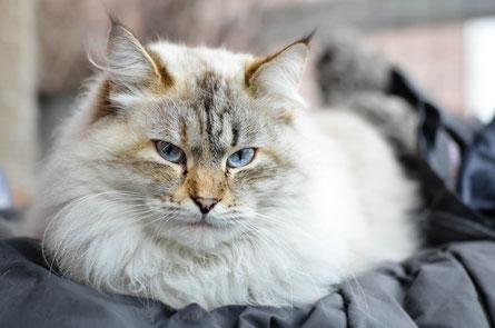 Feniya-Farina von Crazy Kitten im Dezember 2013