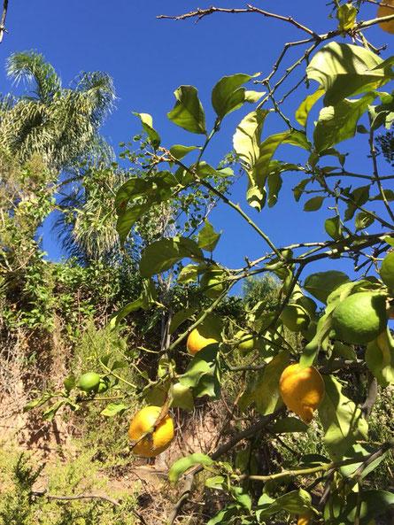ホピ2017の旅記録(カリフォルニアの庭レモン)