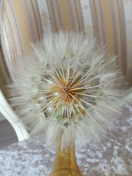 Bocksbart-Pusteblume ... von unserem Dauercamping-See :-)