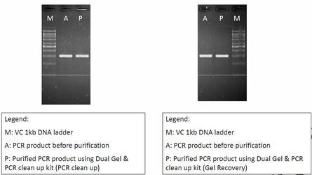 PCR Produkte, Agarosegel Aufreinigung und Extraktion