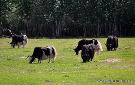 Yaks auf einer Farm