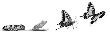 Symbol für erfolgreiche Existenzgründung: Metamorphose von der Raupe zum Schmetterling