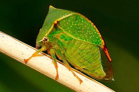Rundkopfzikaden (Cicadomorpha)