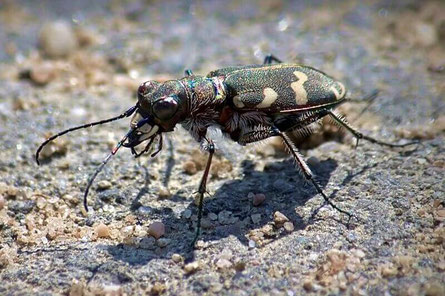 Käfer (Coleoptera)