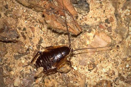 Schaben (Blattodea)