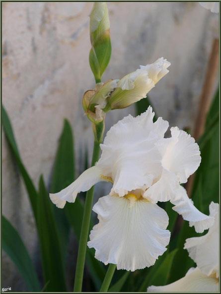 Iris blancs au détour d'une ruelle à Talmont-sur-Gironde, Charente-Maritime