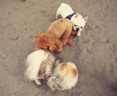 <どんな犬とも仲良く遊ぶので飼うととても楽しいポメラニアン>