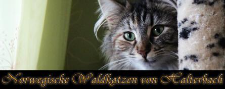 Banner Norwegische Waldkatzen von Halterbach