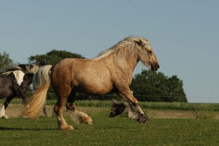 So kurz abgefressene Wiesen sind (wie ich selber aus leidvoller Erfahrung weiß) absolut ungeeignet für diesen Pferdetyp!