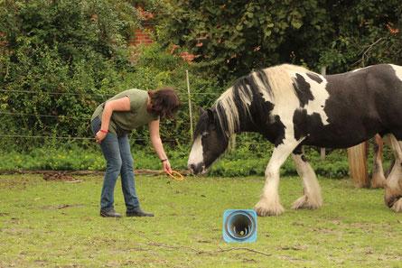 Selbst solche Grasreste auf dem Auslauf sind für übergewichtige Pferde gefährlich! Man unterschätzt, wieviel das Gras ständig nachwächst.